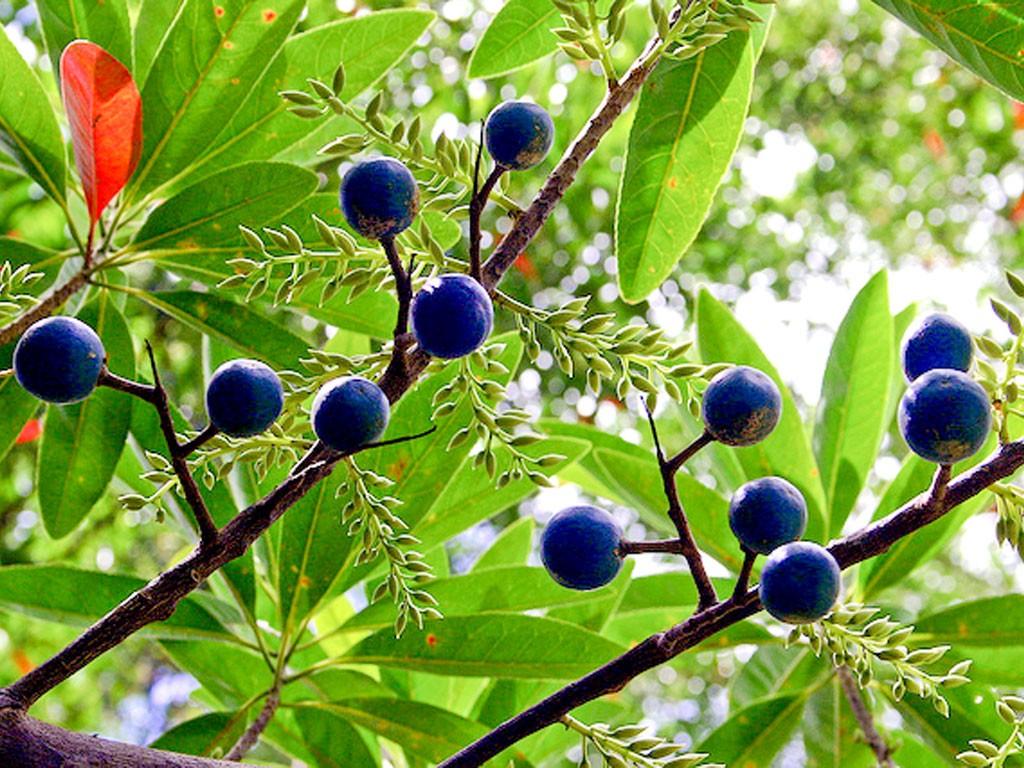 Elaeocarpus ganitrus Rudraksha tree